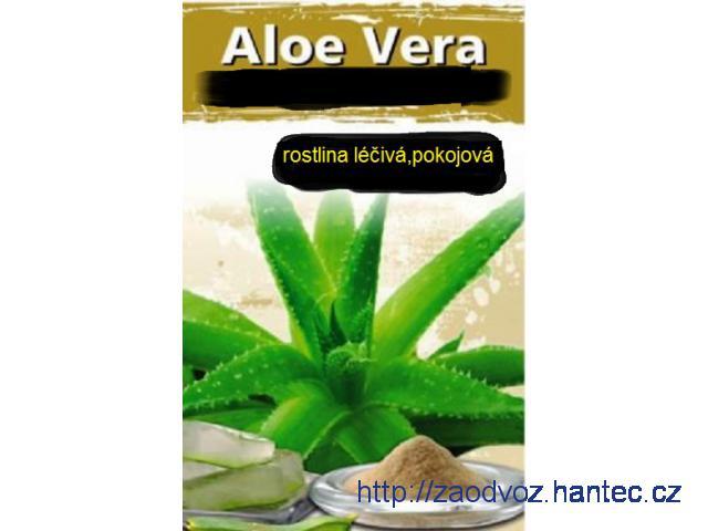 Aloe Vera léčivá rostlina