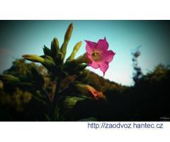 Semena tabáku Virginia (Nicotiana tabacum)